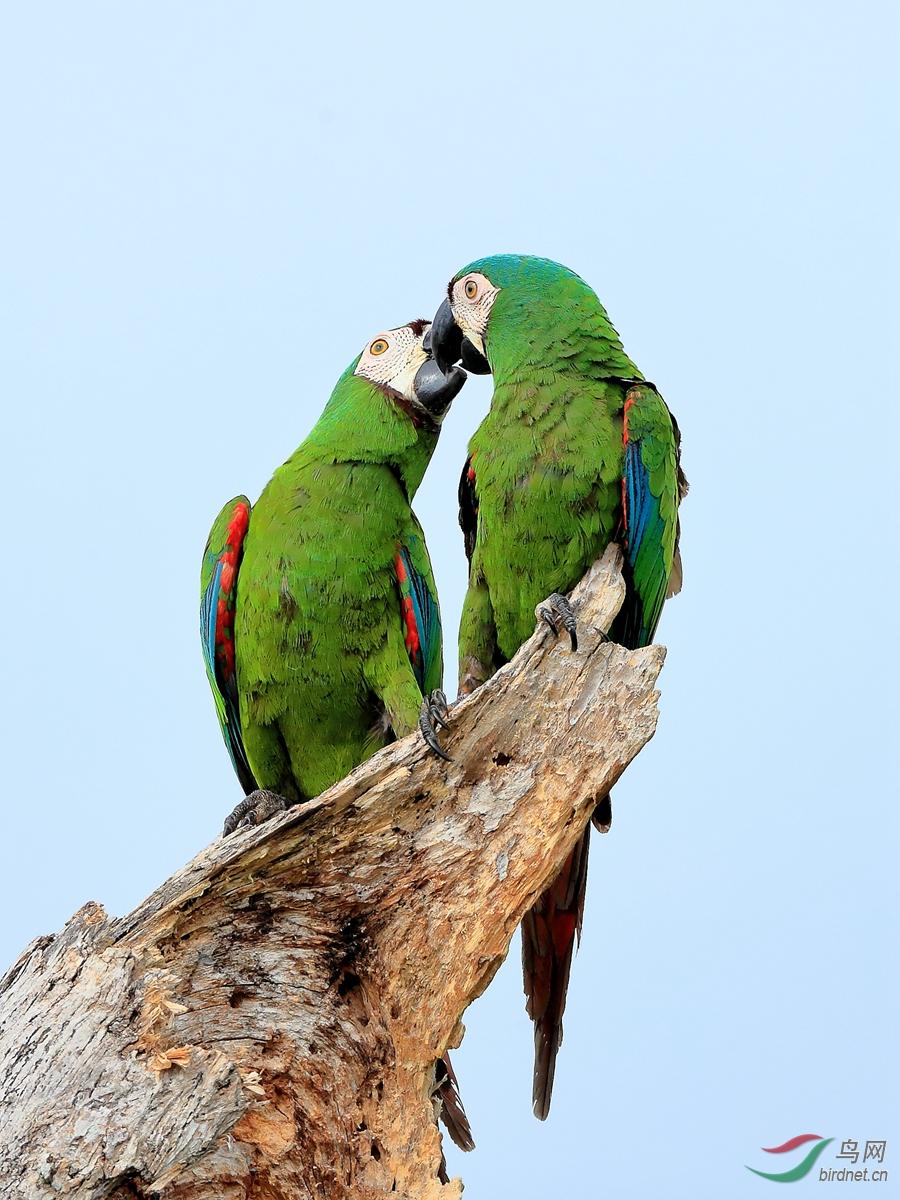 栗额金刚鹦鹉Chestnut-fronted Macaw