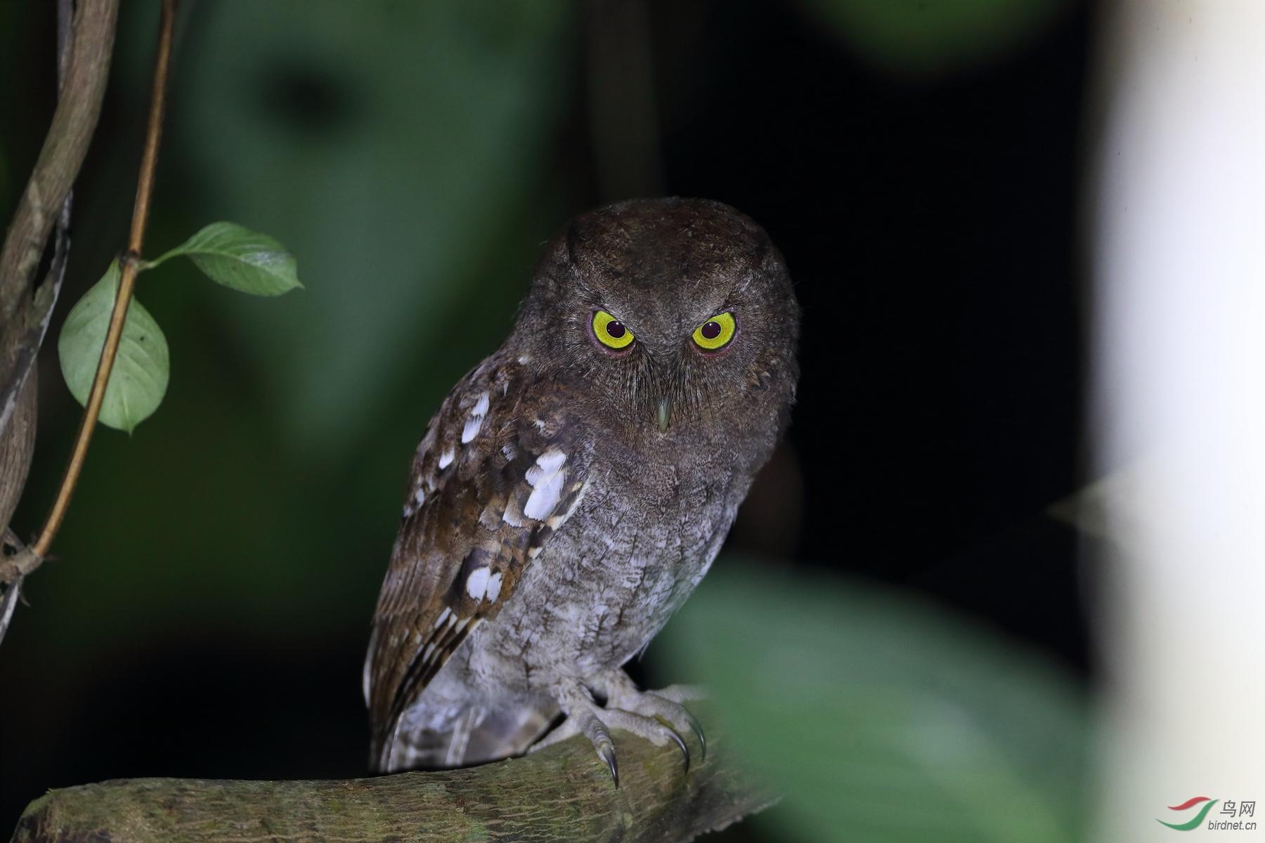 乔科角鸮Choco Screech-Owl