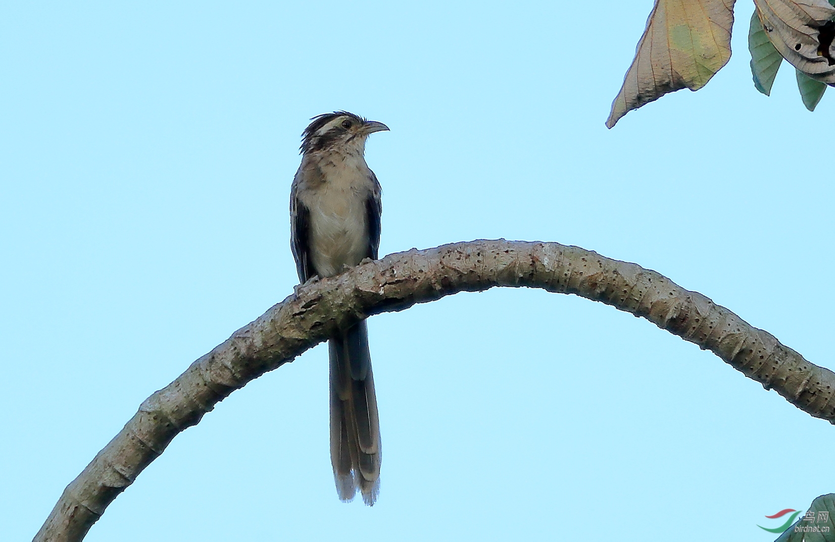 纵纹鹃Striped Cuckoo