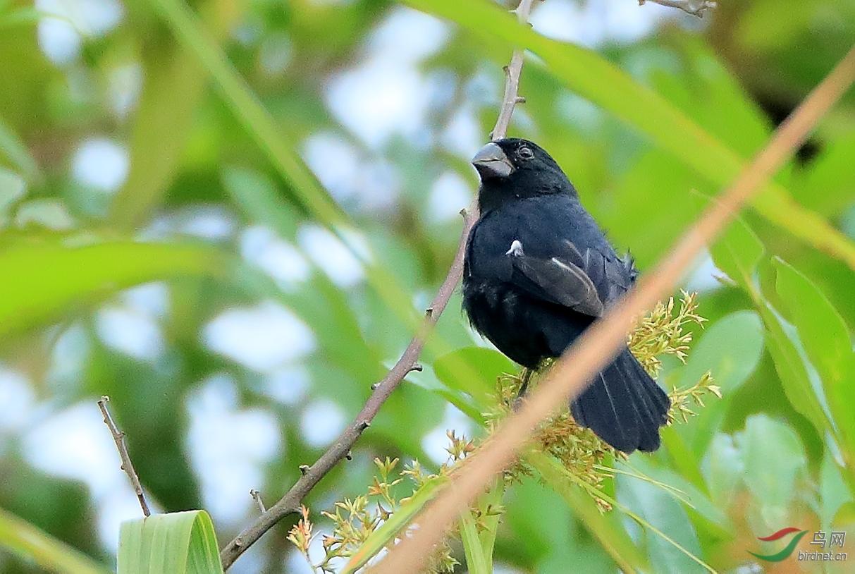 厚嘴籽雀Thick-billed Seed-Finch