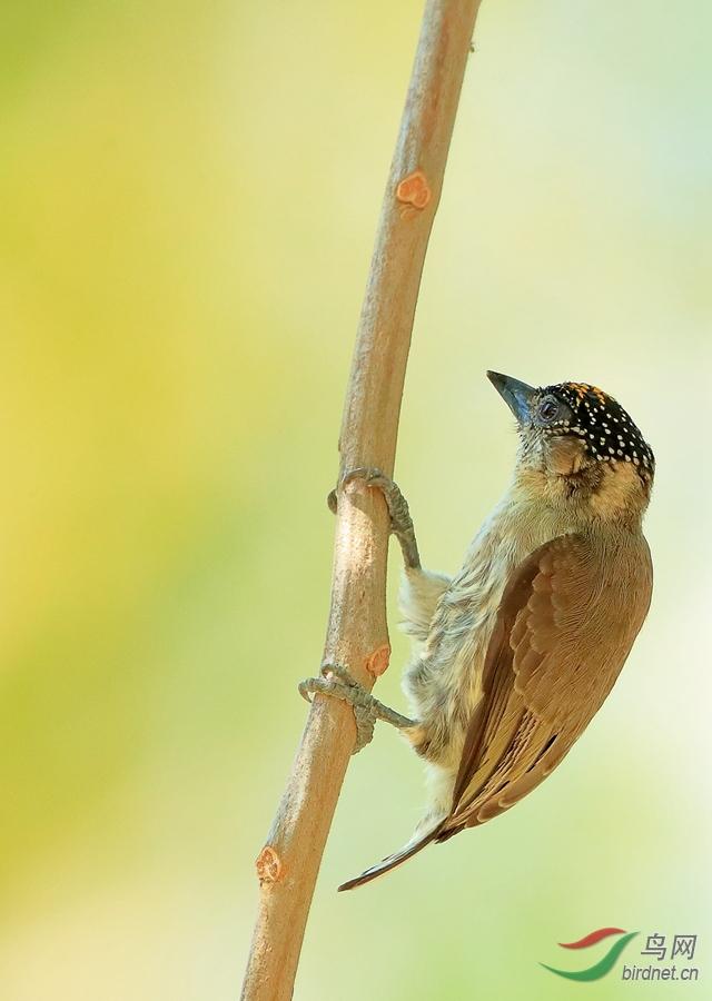 灰姬啄木鸟Grayish Piculet(特有)