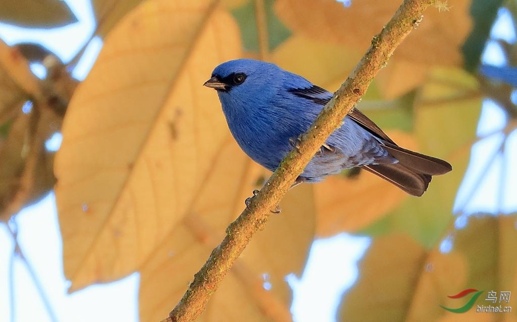 蓝黑唐加拉雀Blue-and-black Tanager