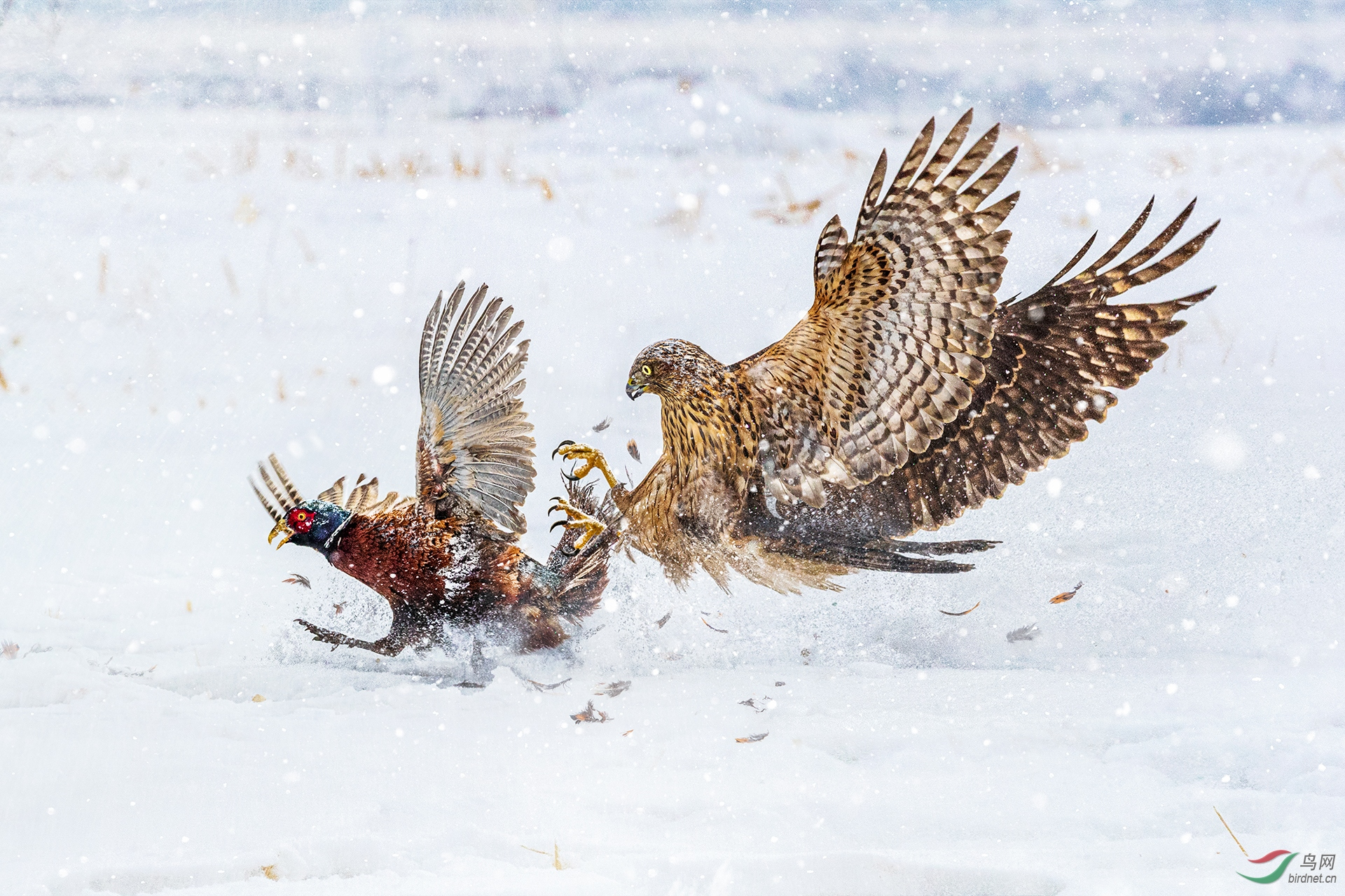 439.HUNTING WITH TALONS.jpg