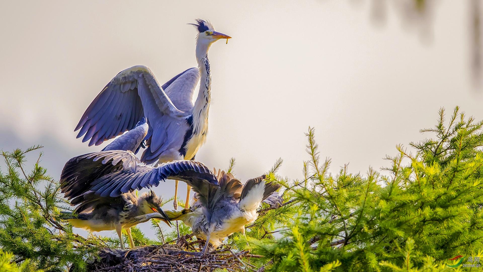 6,苍鹭稳枝栖•筑巢岭上柏   金广山拍摄于转山湖苍鹭岛