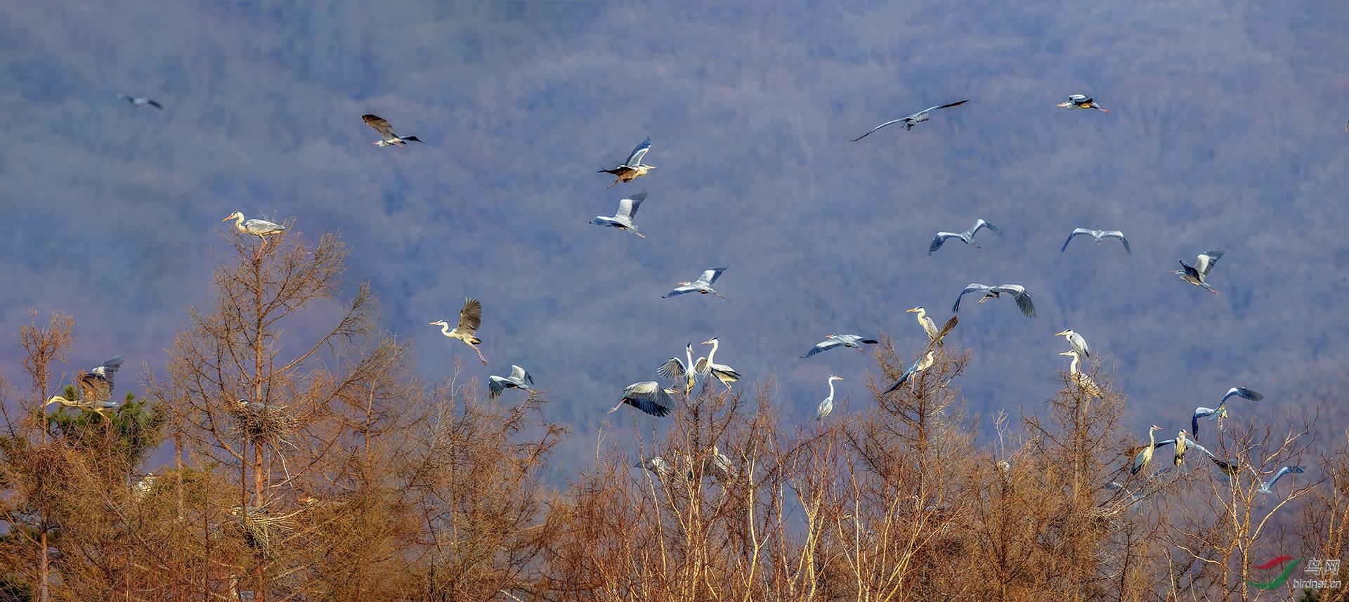 8,枝高入云端•苍鹭舞翩跹  金广山拍摄于转山湖苍鹭岛