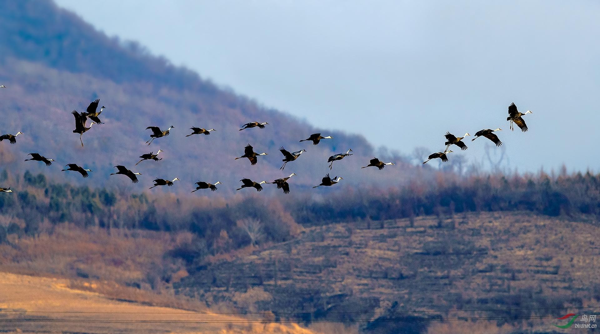 10,春风日渐暖•鹤鸟知归还 ( 白头鹤 国家一级保护) 金广山拍摄于转山湖湿地