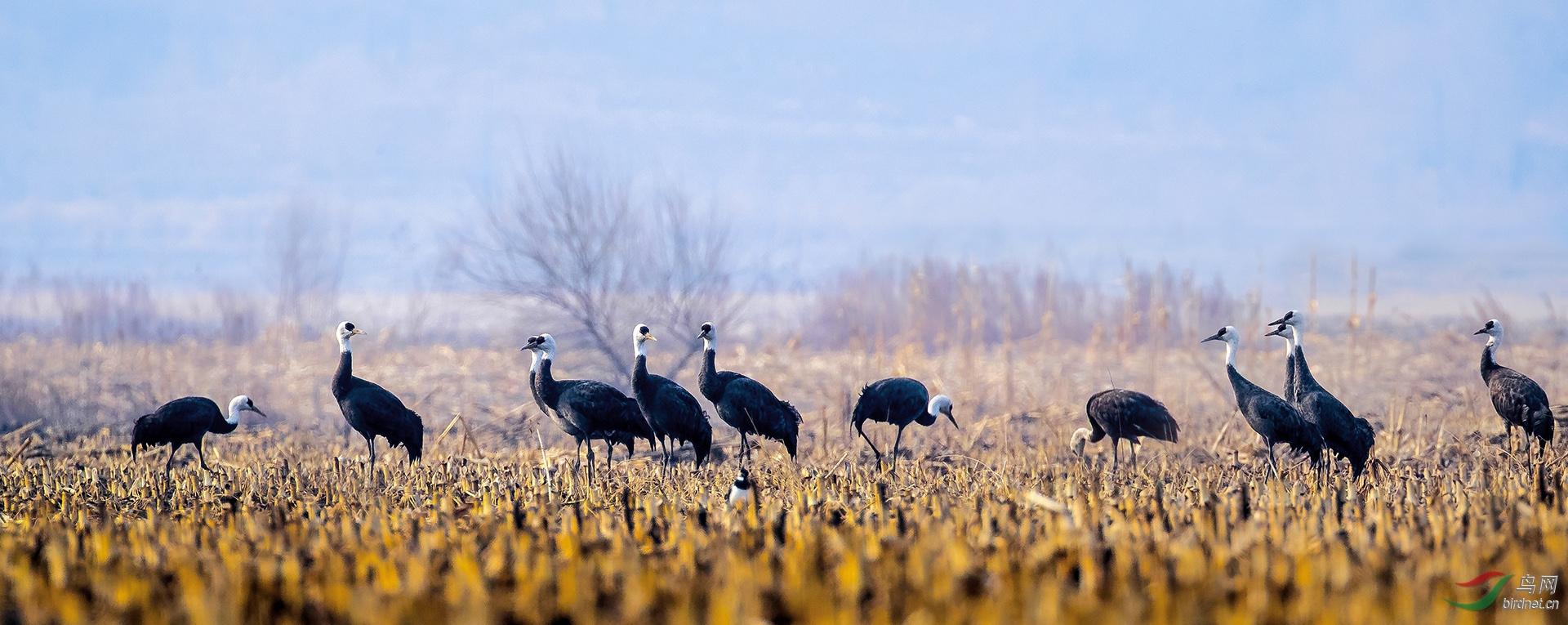 9,离离野色弄微醺•禾黍荒田鹤声闻   ( 白头鹤 国家一级保护) 金广山拍摄于转山湖湿地