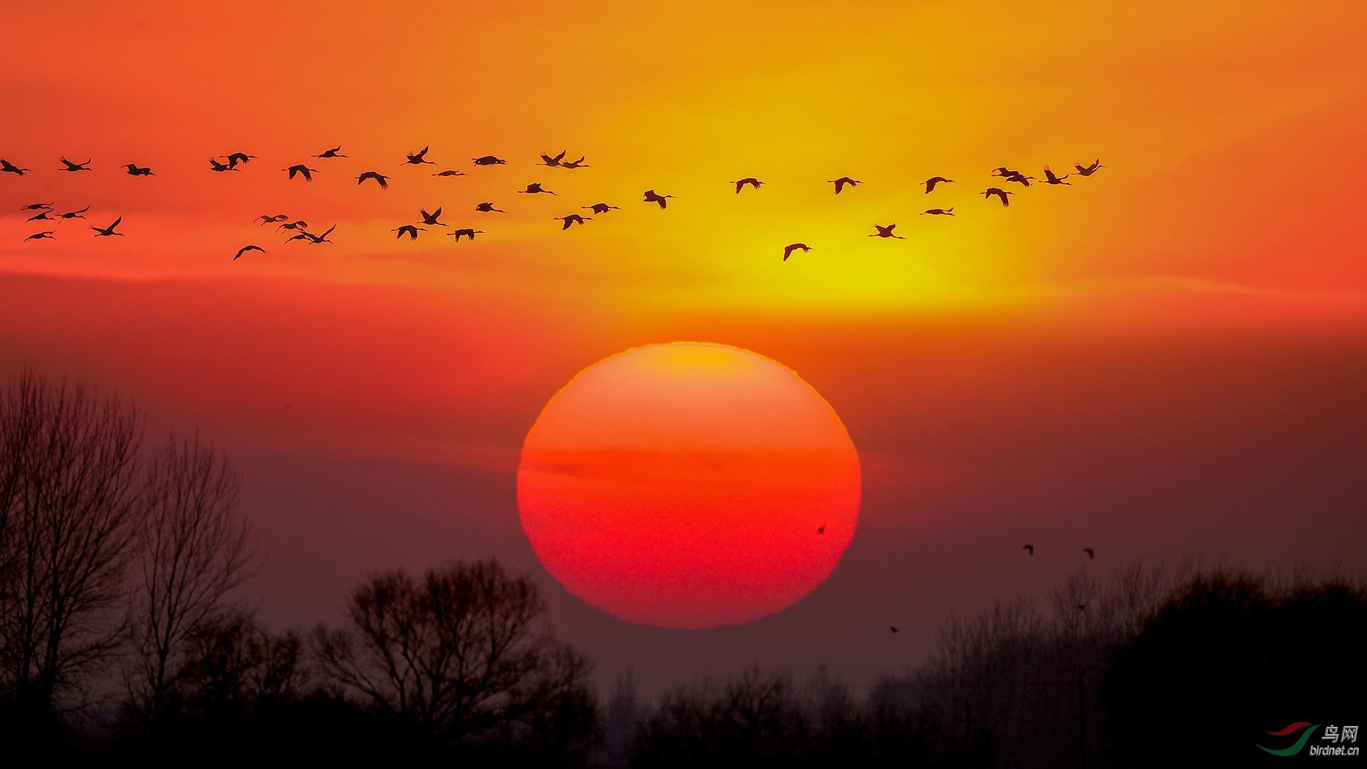 20,飞鹤呈祥迎晓日·  金广山拍摄于双辽白鹤自然保护区
