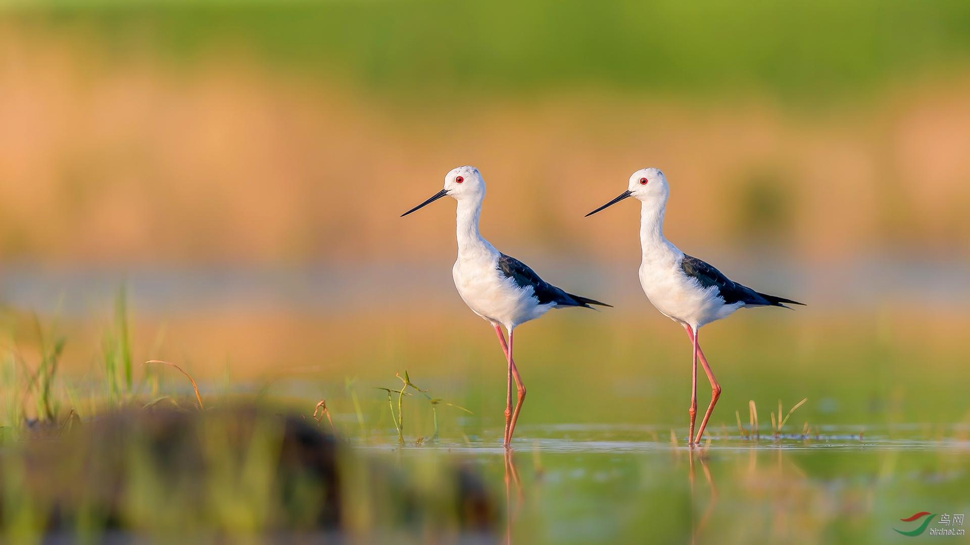 18,亭亭鹬立  金广山拍摄于西湖湿地