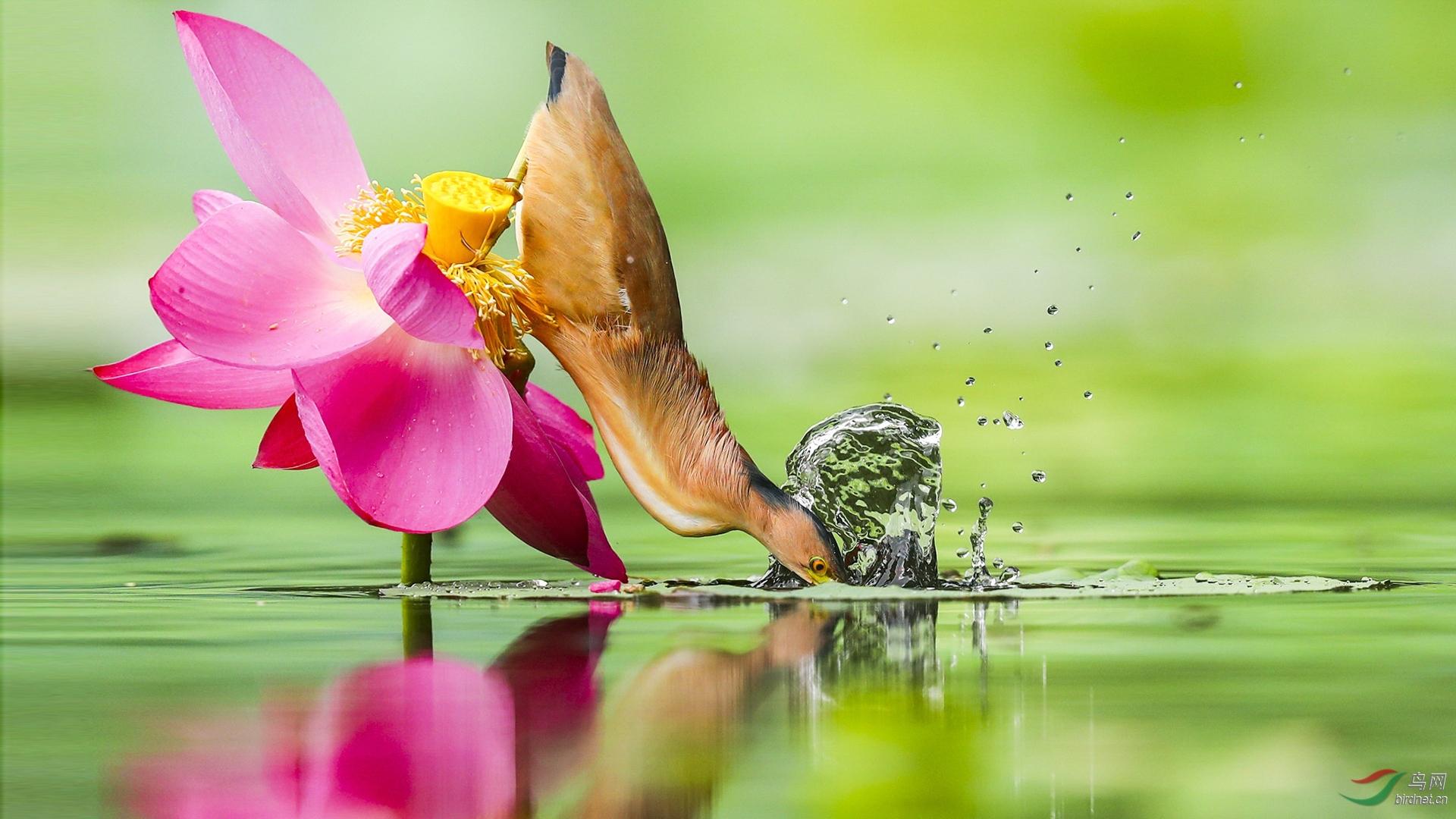 396.黄斑苇鳽-水底.jpg