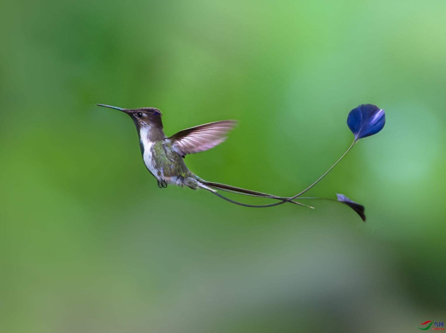 2_WZW1530-w叉扇尾蜂鸟.jpg