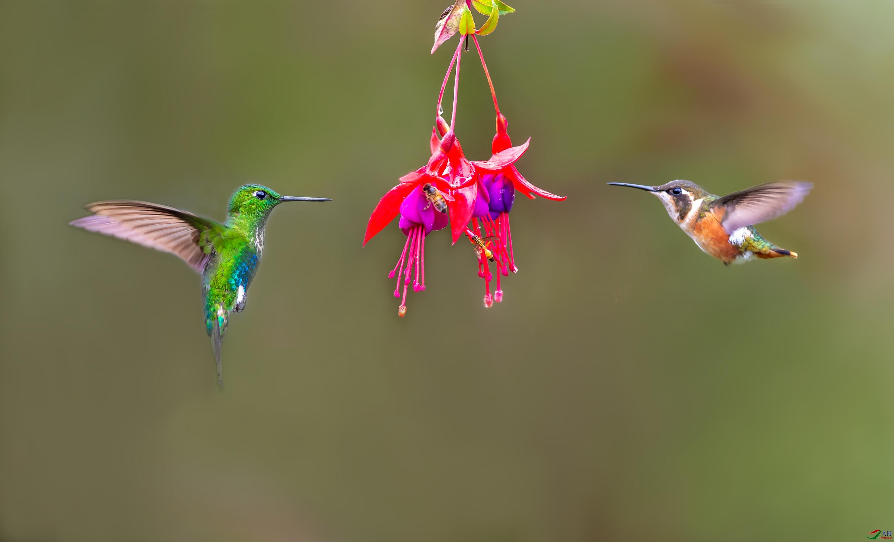 23_WZW5933-w翠腹毛腿蜂鸟、白腹林蜂鸟(雌).jpg