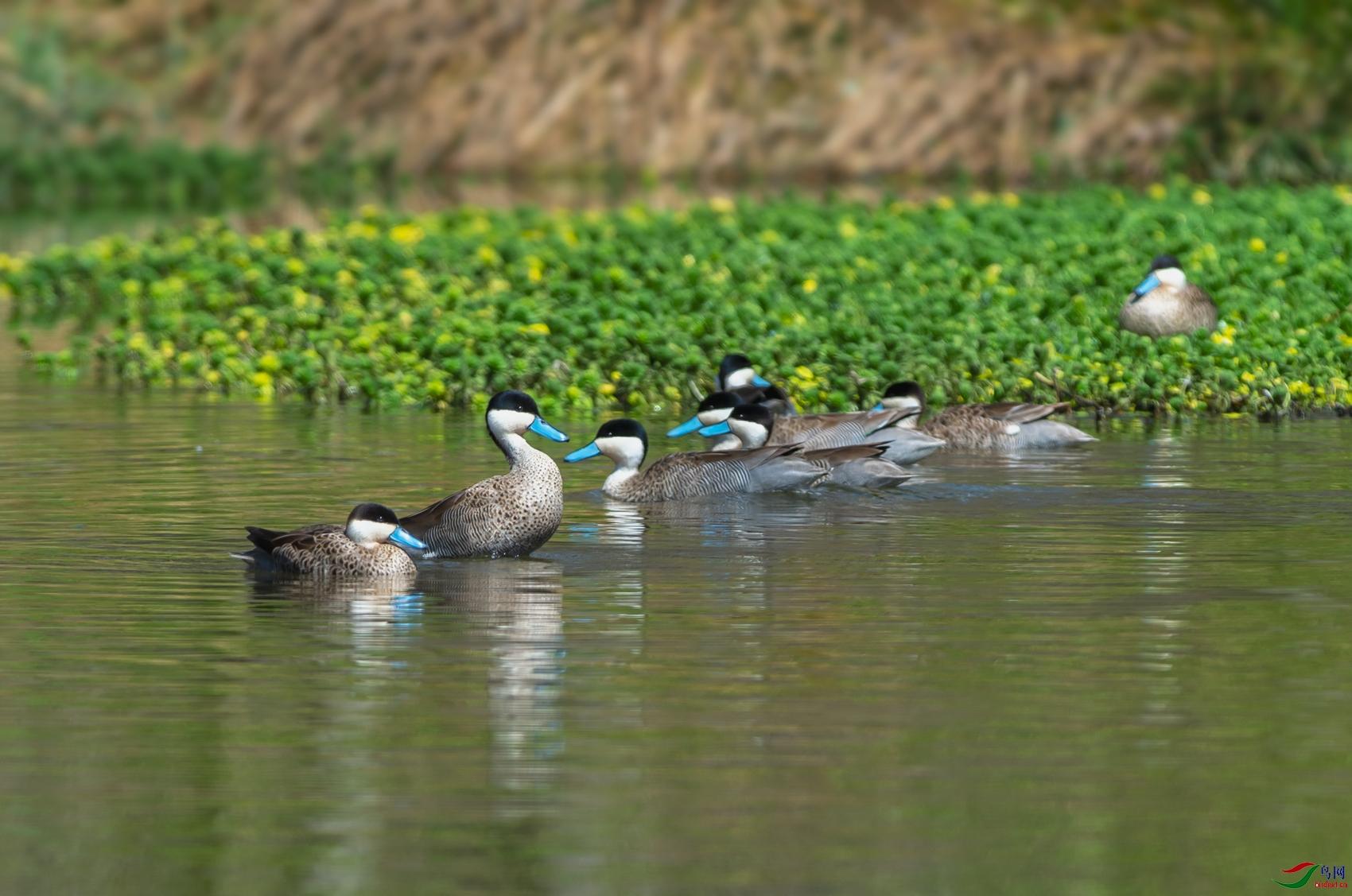 38_WZW9861-w蓝嘴硬尾鸭(雌).jpg