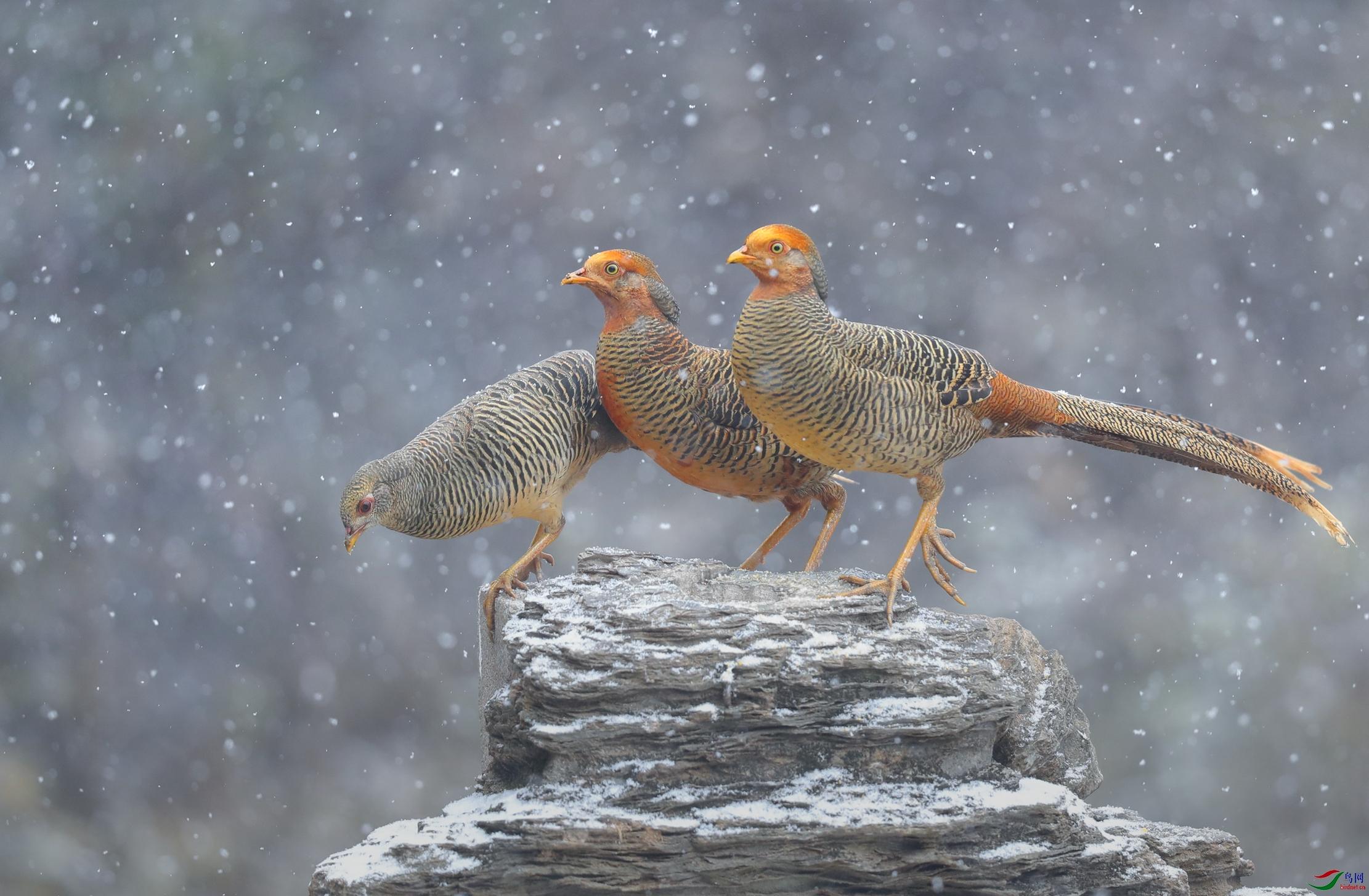 雪中红鸡.jpg