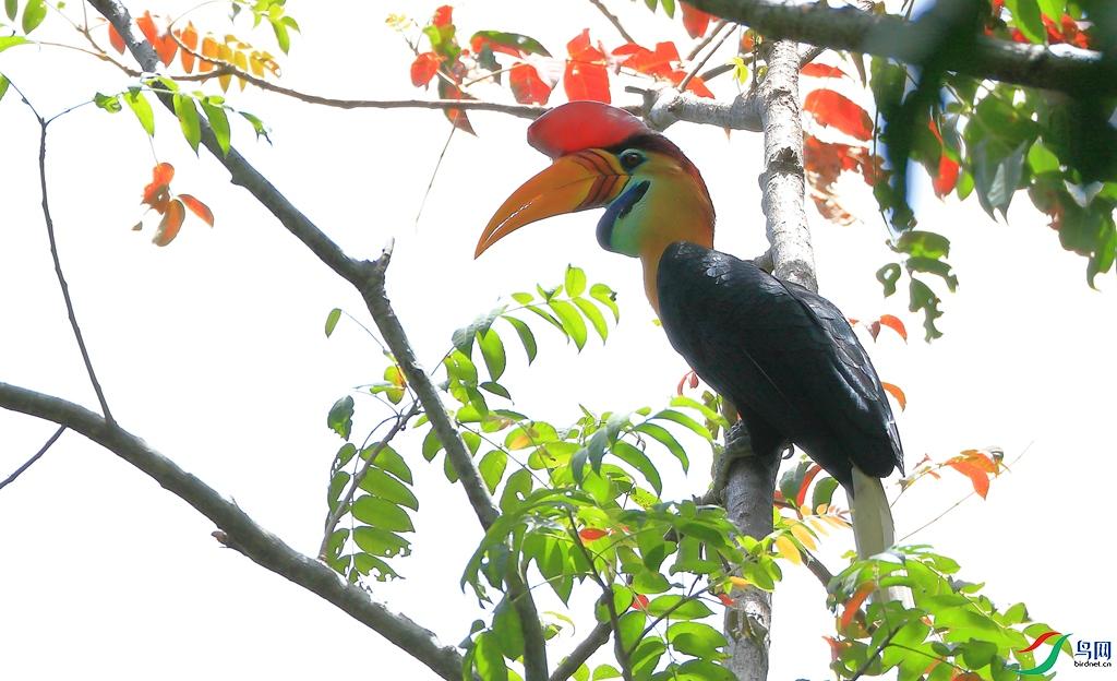 苏拉皱盔犀鸟Knobbed Hornbill(特有 易危)