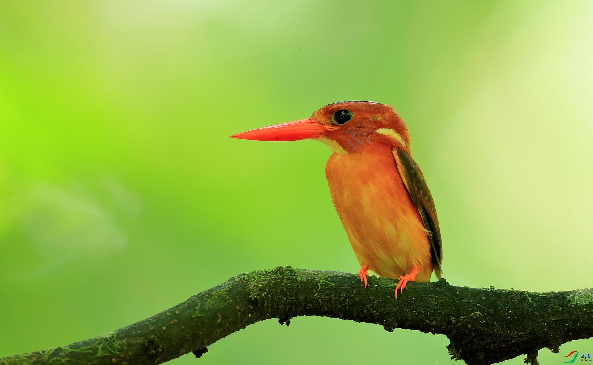 小三趾翠鸟Sulawesi Dwarf-Kingfisher(特有)