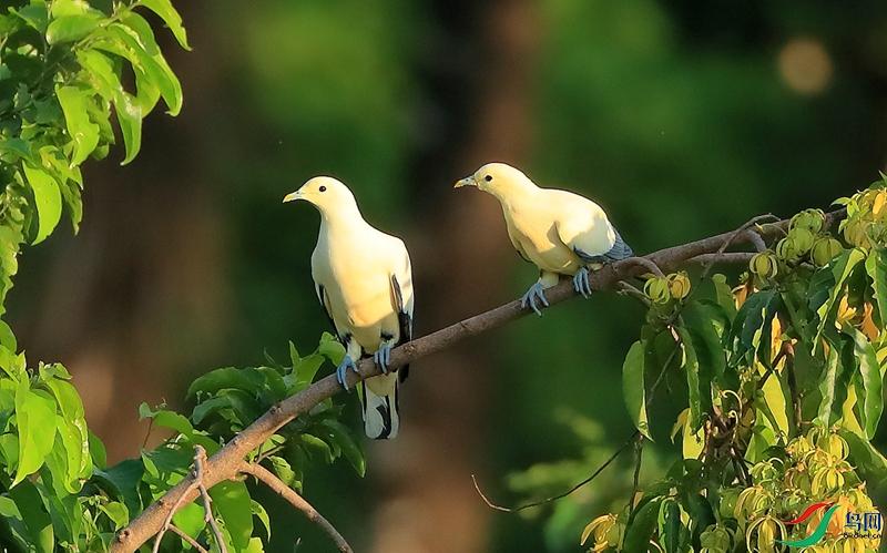 苏拉斑皇鸠Silver-tipped Imperial-Pigeon(特有)