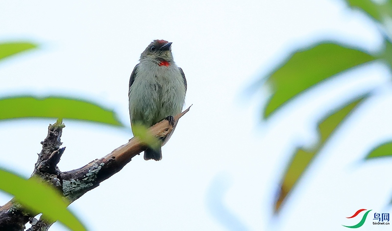 红顶啄花鸟Red-capped Flowerpecker