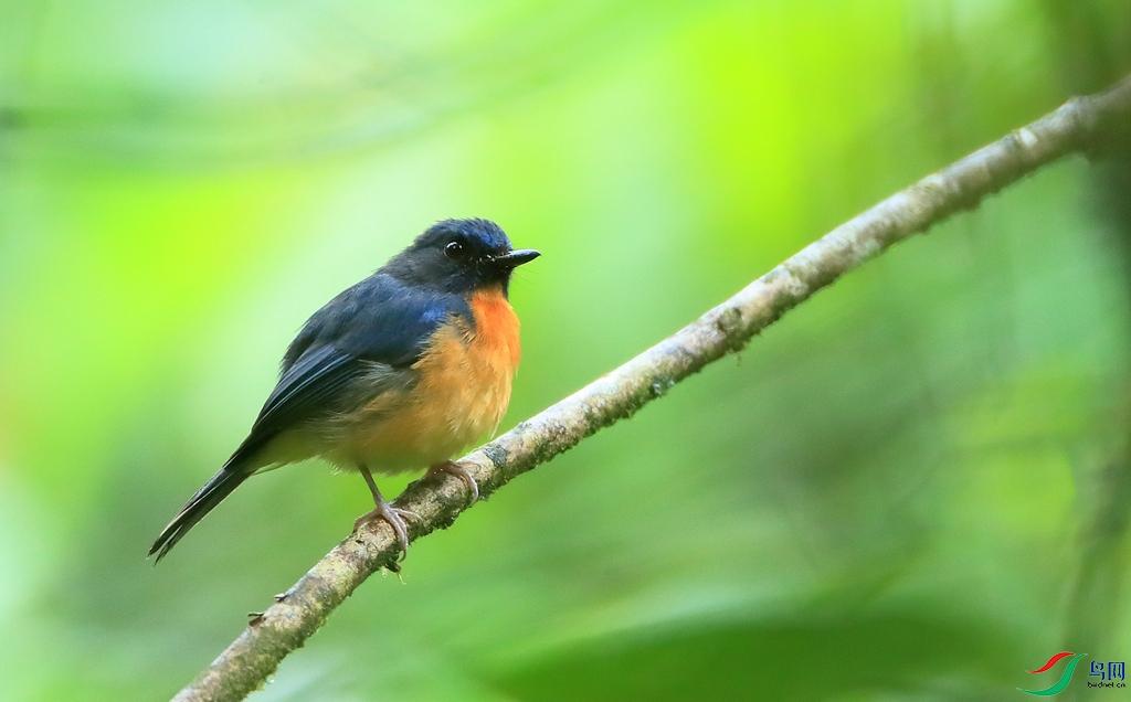 苏拉蓝仙鶲Sulawesi Blue Flycatcher(特有)