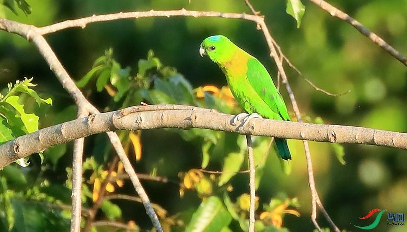 红斑扇尾鹦鹉Yellow-breasted Racquet-tail(特有 近危)