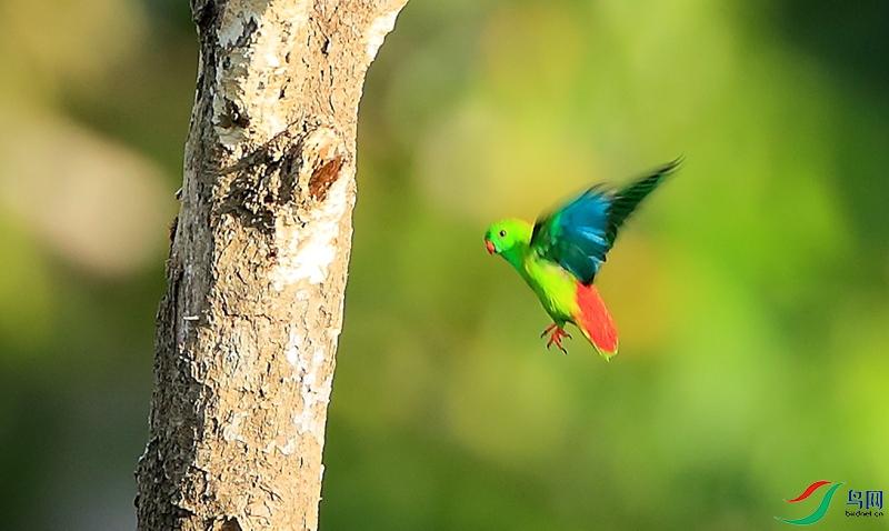 绿短尾鹦鹉Pygmy Hanging-Parrot(特有 近危)