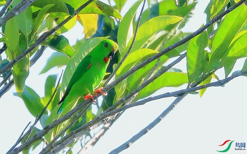 苏拉短尾鹦鹉Sulawesi Hanging-Parrot(特有)
