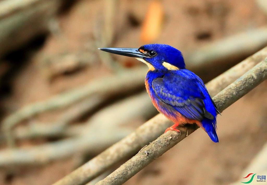 蓝翠鸟Azure Kingfisher