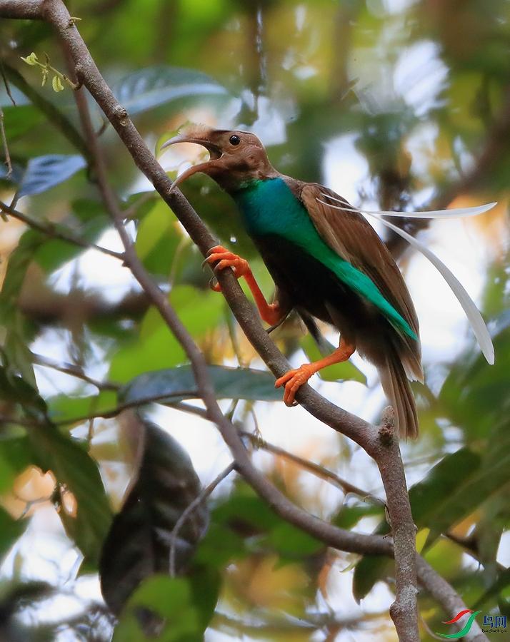 幡羽极乐鸟Standardwing Bird-of-Paradise(特有)