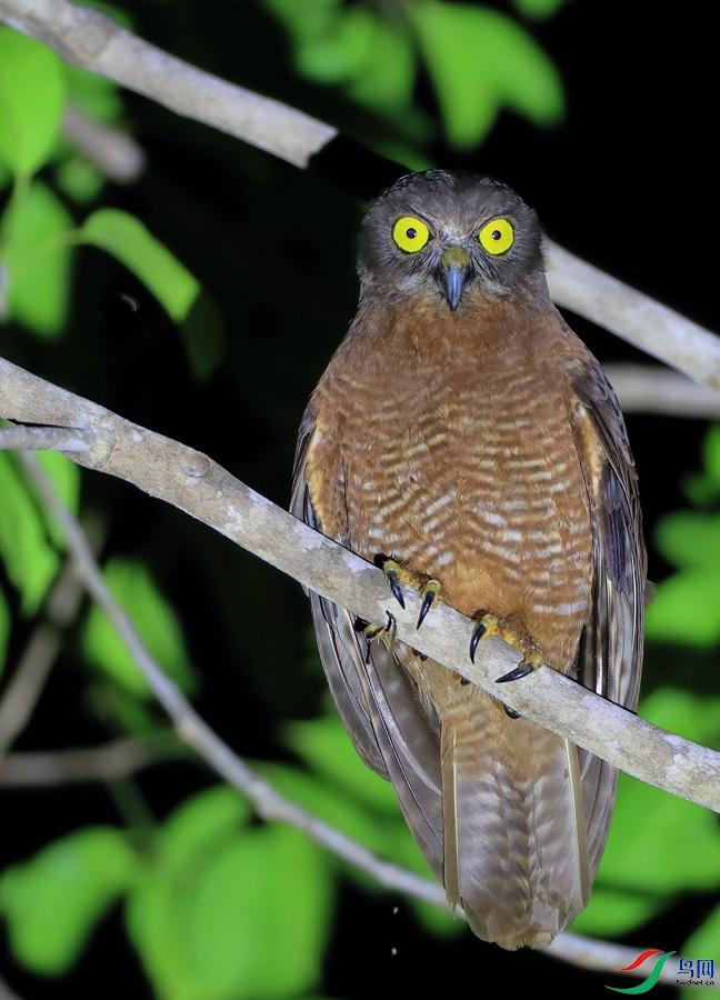 哈岛鹰鸮Halmahera Boobook(特有)
