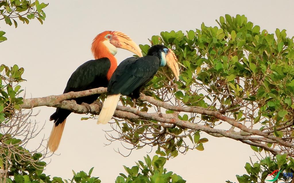 蓝喉皱盔犀鸟Blyth's Hornbill