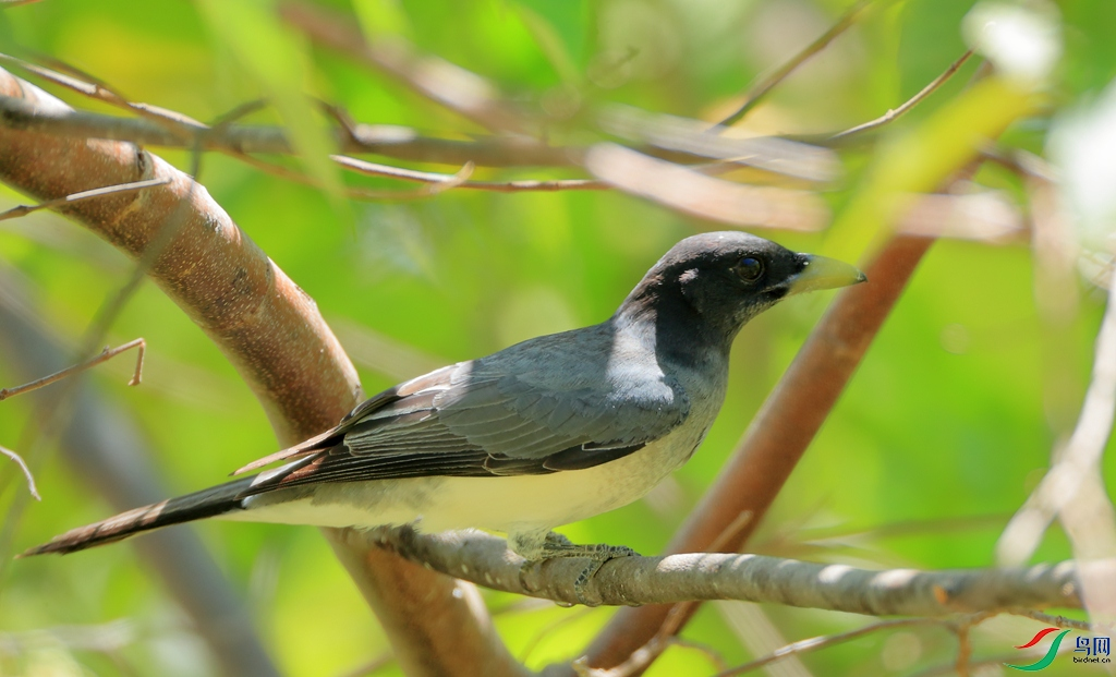 摩鹿加鹃鶪Moluccan Cuckooshrike(特有)