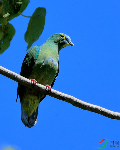 蓝顶果鸠Blue-capped Fruit-Dove(特有 近危)
