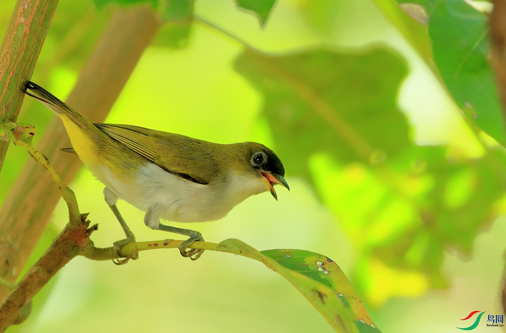 哈岛绣眼Halmahera White-eye(特有)
