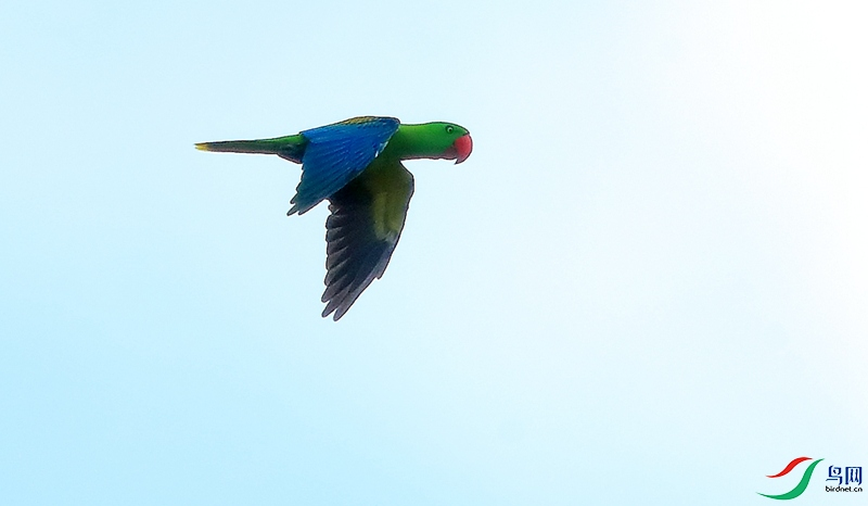 巨嘴鹦鹉Great-billed Parrot