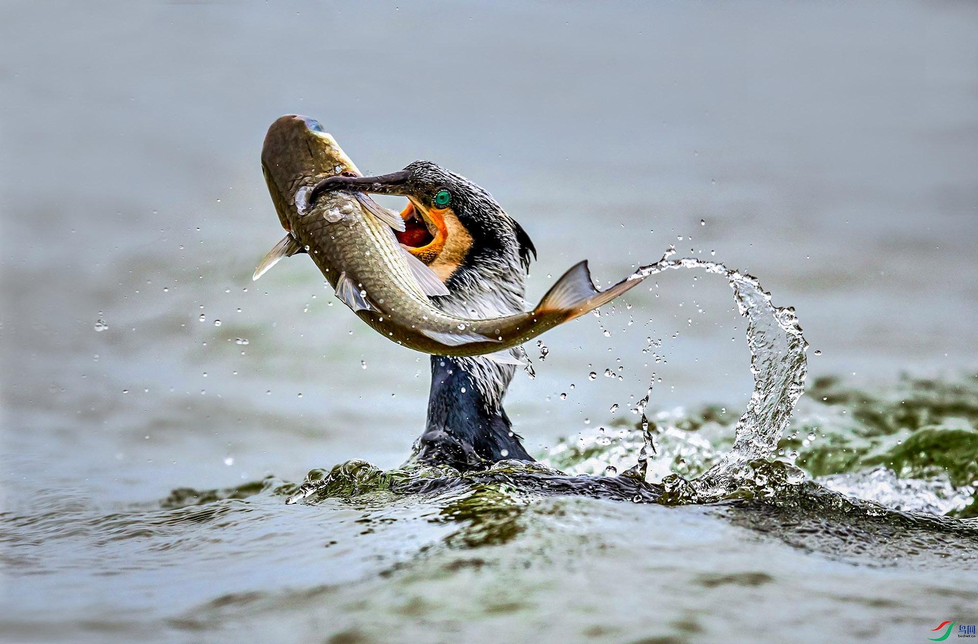 戏鱼.jpg