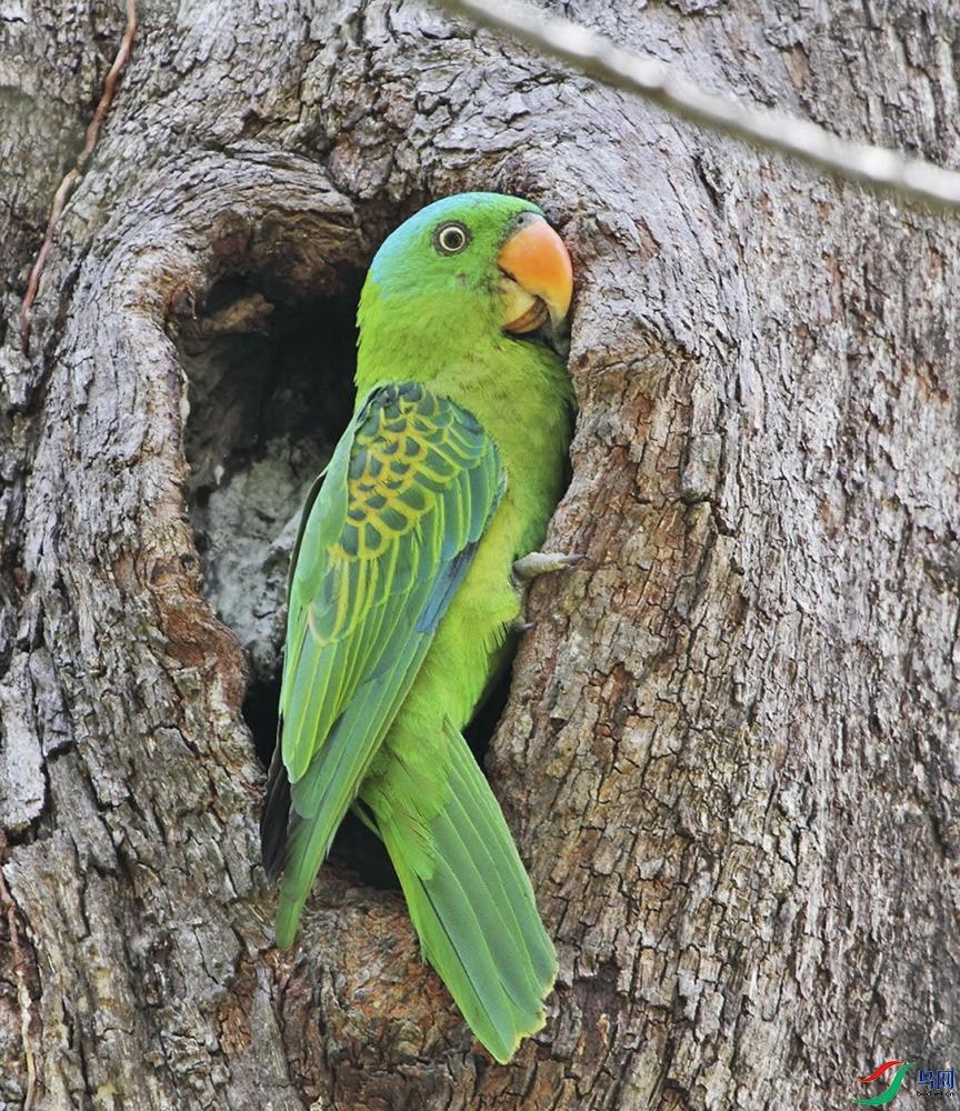 28-蓝腰短尾鹦鹉Cyril Laubscher.JPG