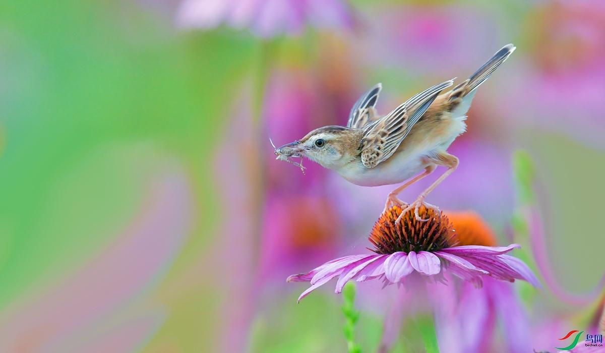 XQD_8495棕扇尾莺.jpg