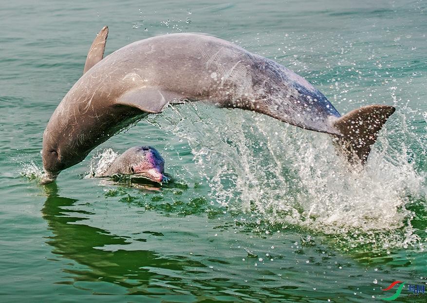 大海精灵白海豚