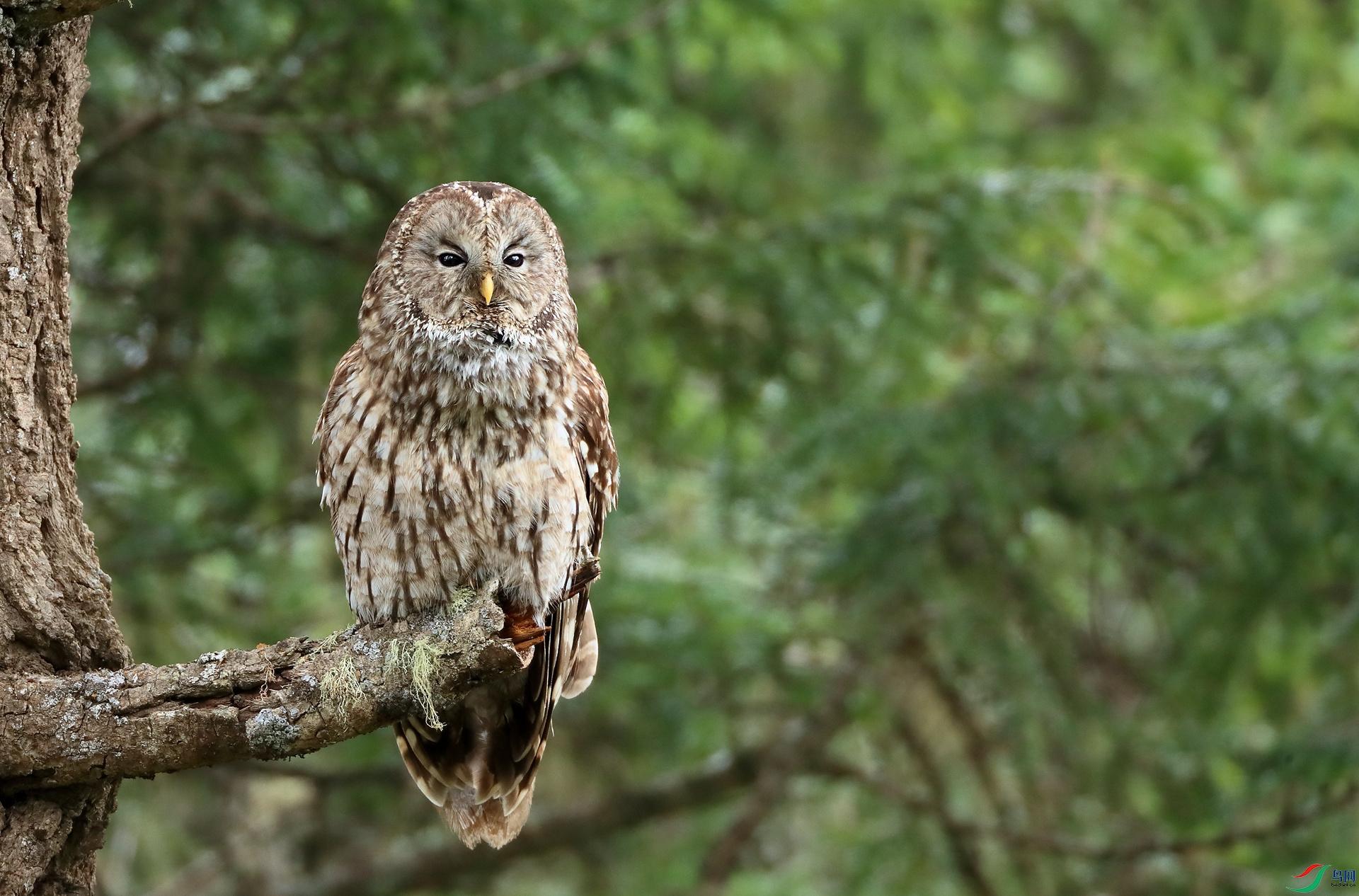 四川林鸮Pere David's Owl(特有)