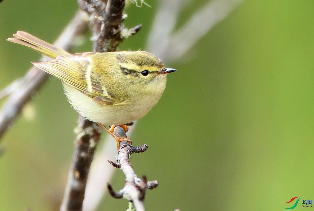 橙斑翅柳莺Buff-barred Warbler