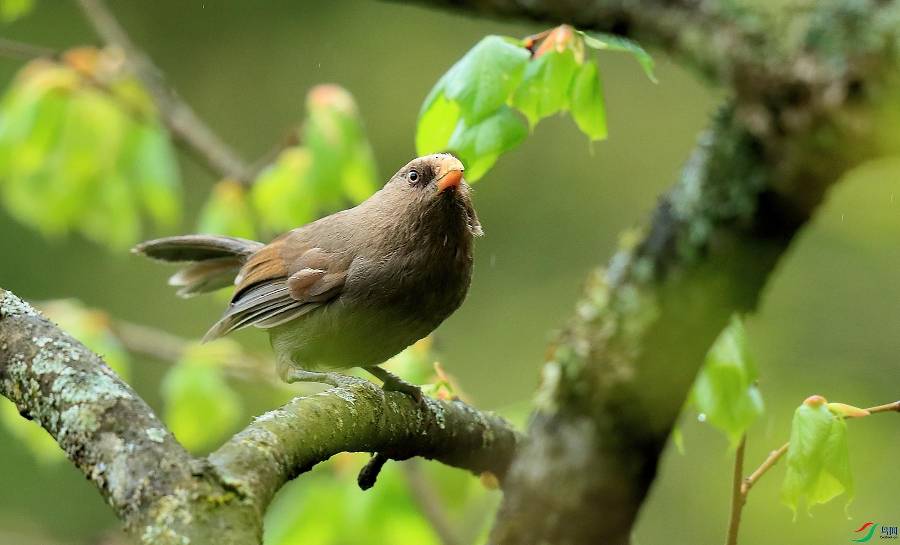 红嘴鸦雀Great Parrotbill