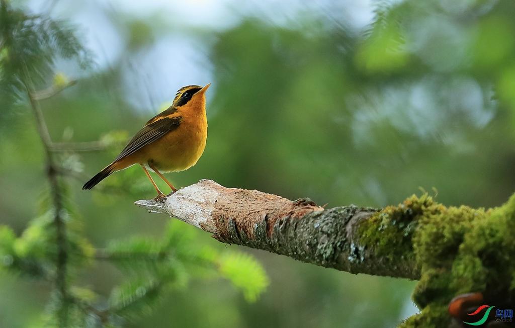 金色林鸲Golden Bush-Robin