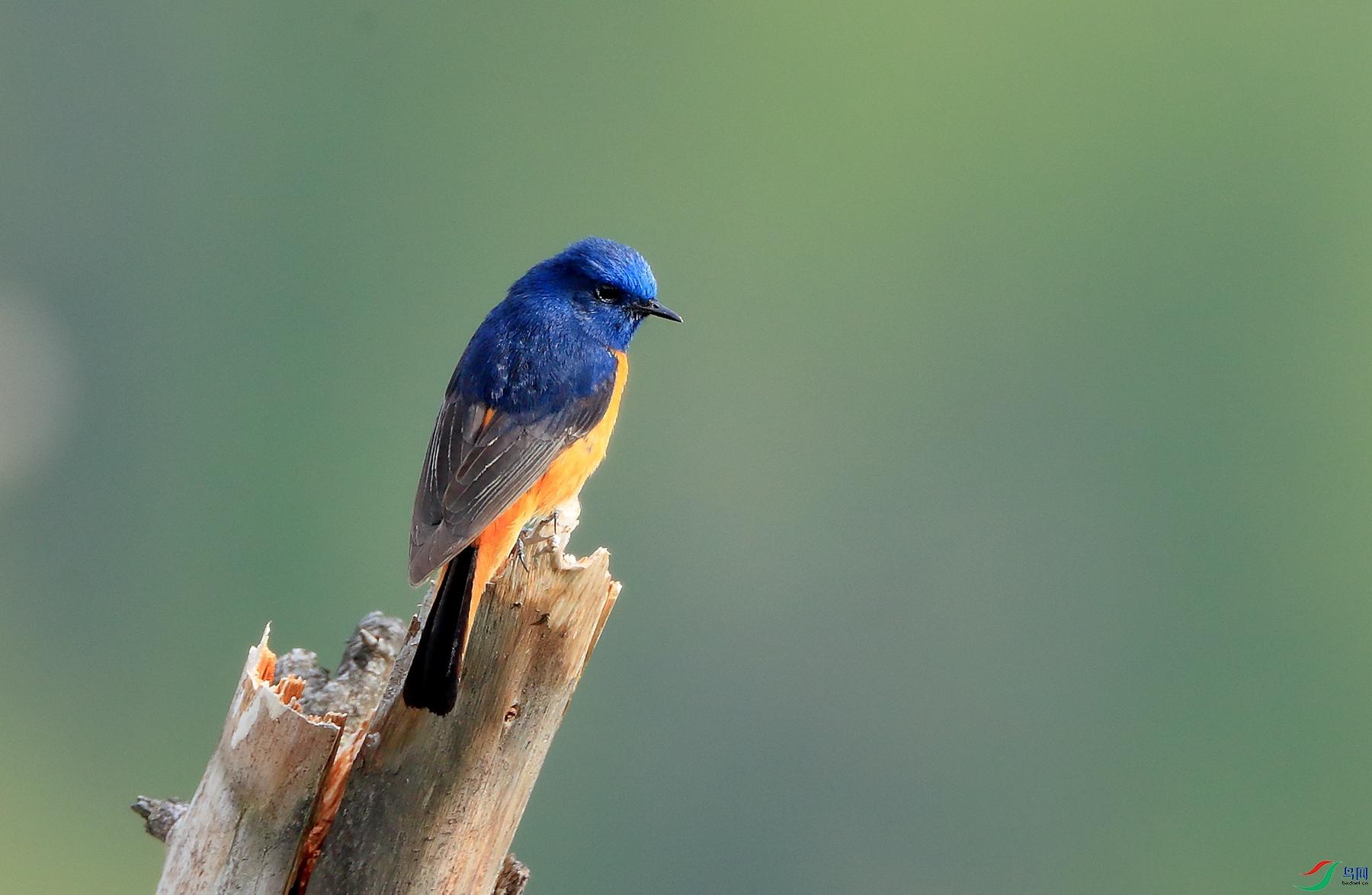 蓝额红尾鸲Blue-fronted Redstart