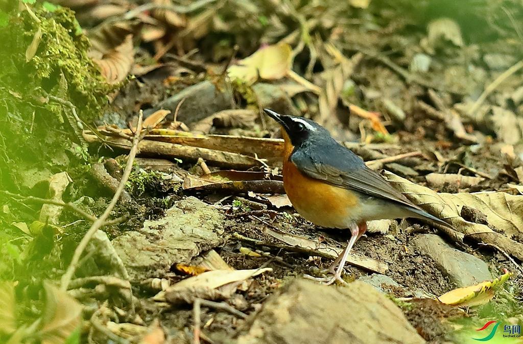 栗腹歌鸲Indian Blue Robin