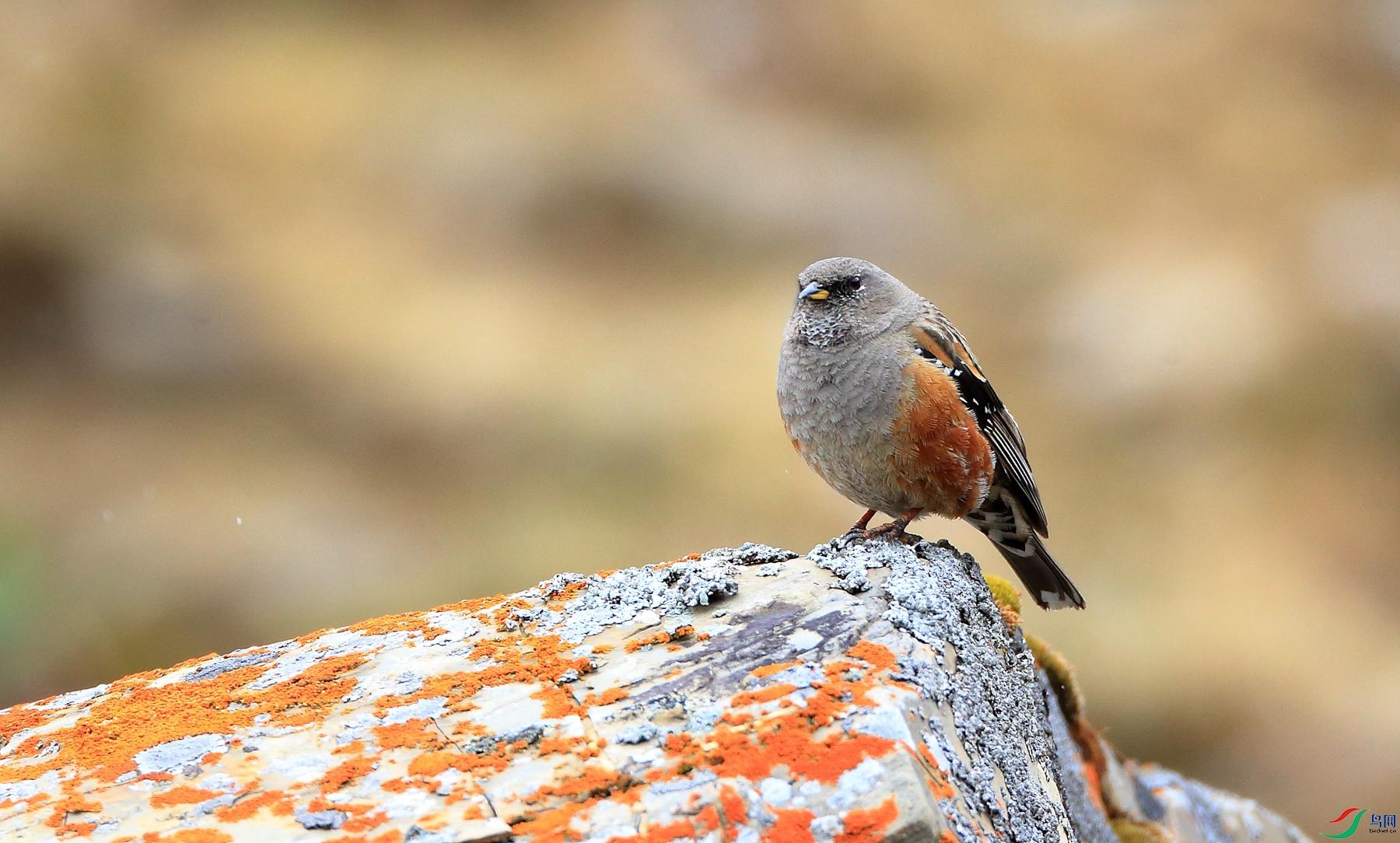 领岩鹨Alpine Accentor