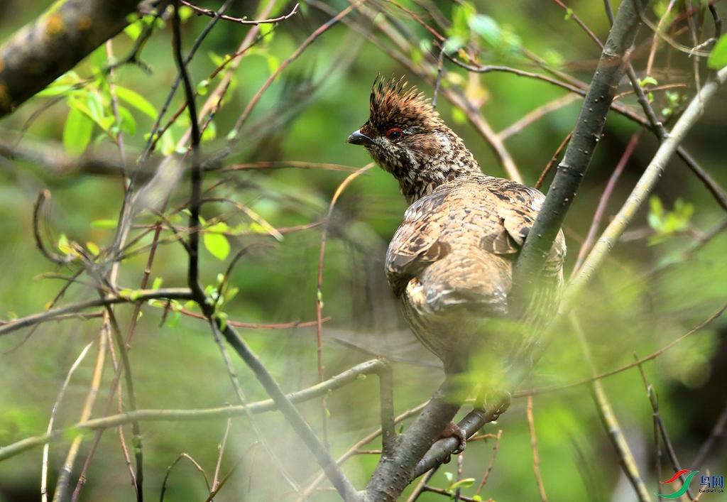 斑尾榛鸡Severtzov's Grouse
