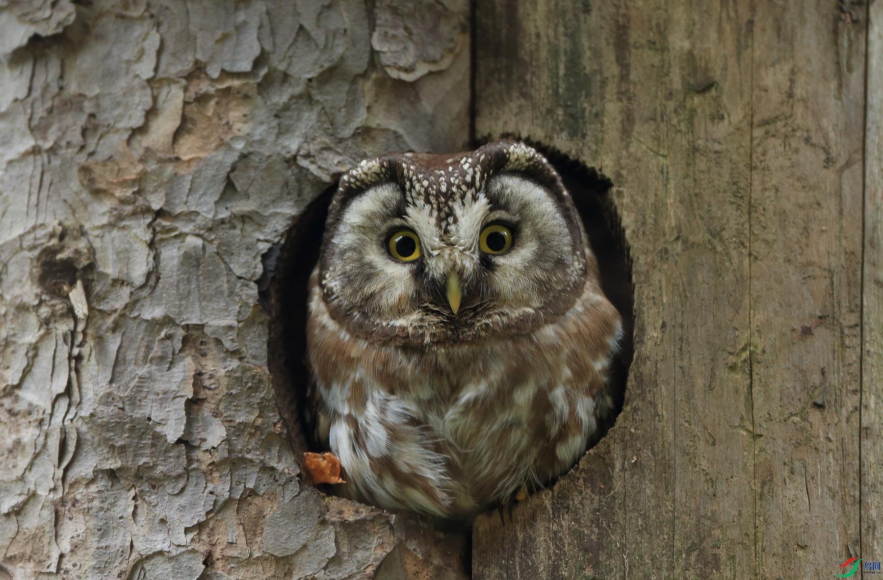 鬼鸮Boreal Owl