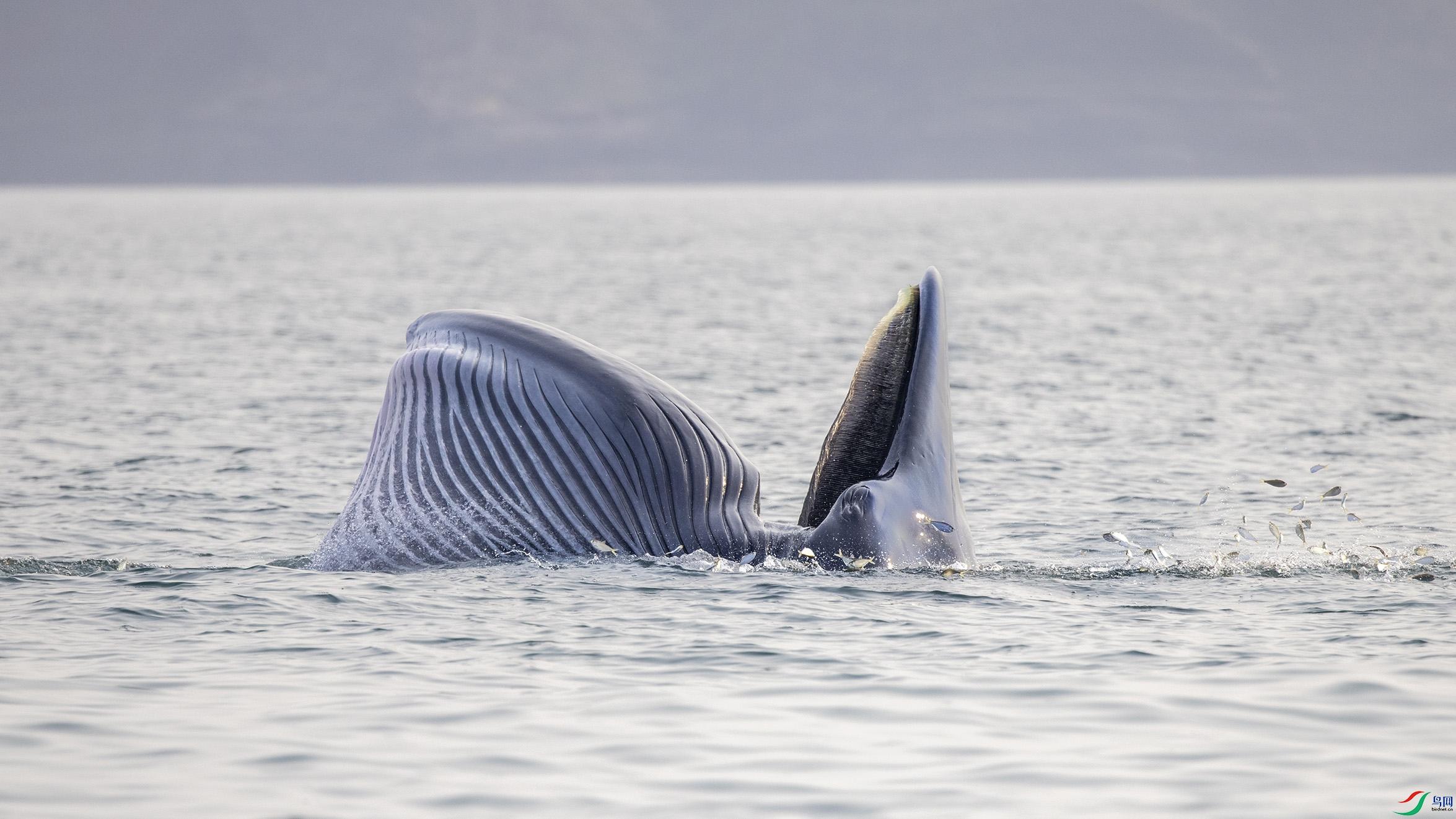 布氏鲸.jpg