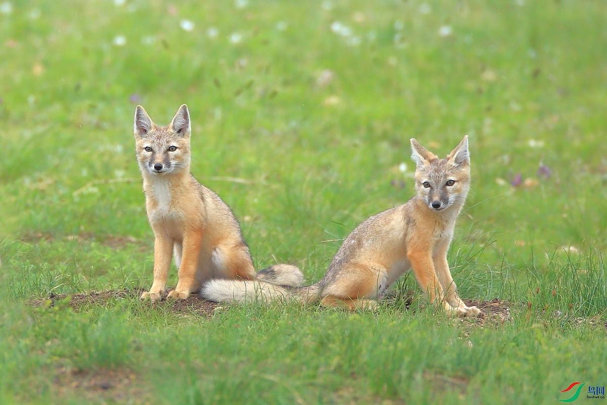 两只沙狐.JPG