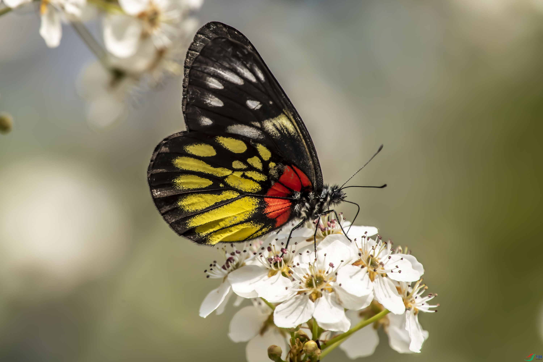 (9)DSC_7717(梨花与花斑蝶,拍摄于肇庆).jpg